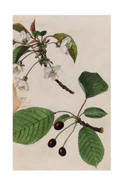 A Sprig of Sweet Cherry Tree Blossoms and Berries by Mary E. Eaton