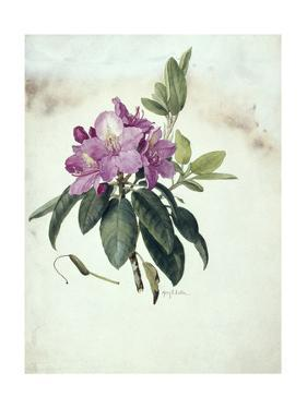Mountain American Rhododendron by Mary E. Eaton