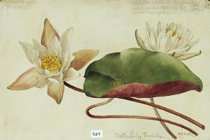 This Plant Belongs to the Water Lily Family by Mary E. Eaton