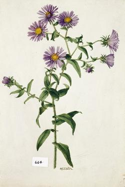 This Plant Is a Member of the Aster Family by Mary E. Eaton