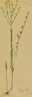 This Plant Is a Member of the Flax Family by Mary E. Eaton
