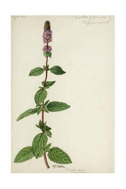 This Plant Is a Member of the Mint Family by Mary E. Eaton