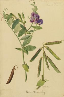 This Plant Is a Member of the Pea Family by Mary E. Eaton