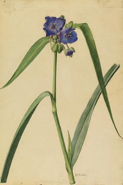 This Plant Is a Member of the Spiderwort Family by Mary E. Eaton