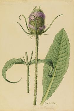 This Plant Is a Member of the Teasel Family by Mary E. Eaton