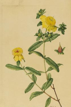 This Shrub Is a Member of the Saint John'S-Wort Family by Mary E. Eaton