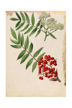 Two Sprigs of American Mountain Ash with Berries and Blossoms by Mary E. Eaton