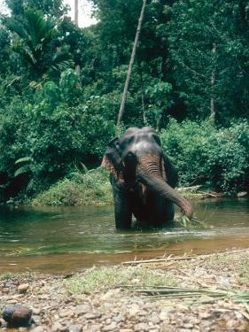 Asian Elephant, Bull in Stream, Sri Lanka by Mary Plage