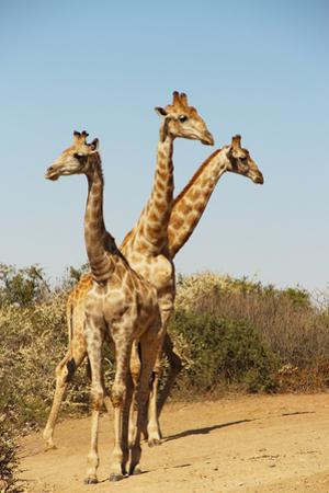 Giraffe group in South Africa by Mary Yaholkovsky