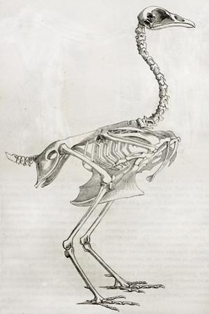 Old Illustration Of A Cock'S Skeleton by marzolino