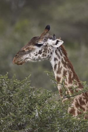 https://imgc.allpostersimages.com/img/posters/masai-giraffe-giraffa-camelopardalis-tippelskirchi_u-L-PWFI5B0.jpg?p=0