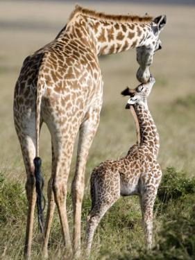 Masai Giraffe with its Calf, Masai Mara National Reserve, Kenya