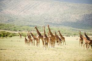 Masai Giraffes (Giraffa Camelopardalis Tippelskirchi) in a Forest, Lake Manyara, Tanzania