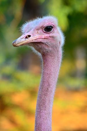 https://imgc.allpostersimages.com/img/posters/masai-ostrich-male-portrait-struthio-camelus-massaicus-masai-mara-national-reserve-kenya-africa_u-L-Q13A9QO0.jpg?p=0