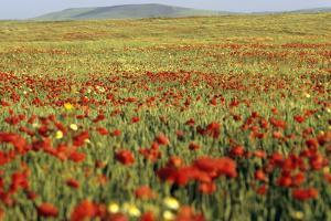 A Field of Wild Poppies, Morocco by Massimo Pizzotti