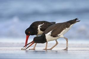 Young American Oystercatcher (Haematopus Palliatus) Snatching Food from Adult on the Shoreline by Mateusz Piesiak