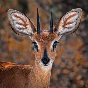Steenbok, One of the Smallest Antelope in the World by Mathilde Guillemot