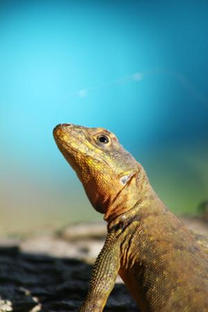 Reptile Lizard in Argentina by Matias Moretti