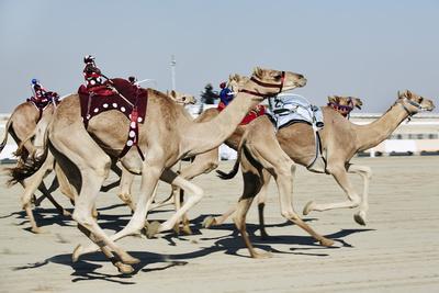 Camel Racing at Al Shahaniya Race Track, 20Km Outside Doha, Qatar, Middle East
