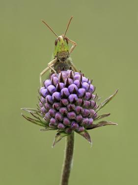 Lesser Marsh Grasshopper (Chorthippus albomarginatus) adult, with leg on head, Leicestershire by Matt Cole