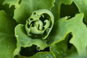 Close-Up, Succulent Plant with Water Droplets by Matt Freedman