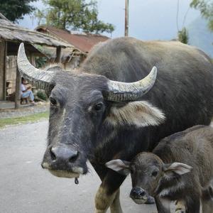 Laos, Vang Vieng. Adult and Baby Buffalo on Road by Matt Freedman