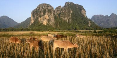 Laos, Vang Vieng. Cows in Front of Limestone Karst at Sunrise