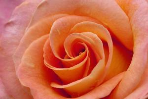 Orange Rose Close-Up by Matt Freedman