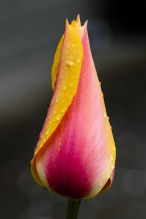 Tulip with Water Droplets