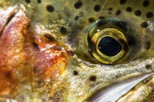 Macro Shot of a Rainbow Trout Cheek and Eye by Matt Jones
