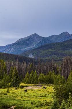 Two Grazing Moose on the Upper Colorado River in Rocky Mountain National Park, Colorado by Matt Jones