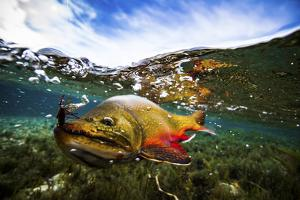 Underwater View of a Male Brook Trout in Patagonia Argentina by Matt Jones