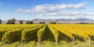Vineyards, Blenheim, Marlborough, South Island, New Zealand by Matteo Colombo