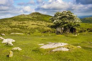 Dartmoor Landscape Near Fingle Bridge, Devon, England, United Kingdom, Europe by Matthew