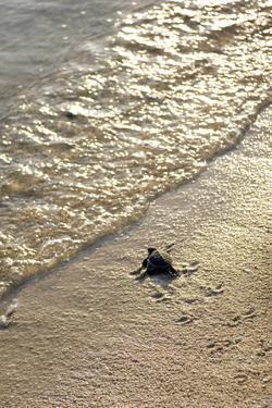 Green Turtle Hatchling by Matthew Oldfield