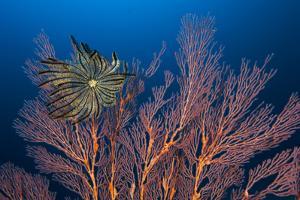 Sea Fan And Crinoid by Matthew Oldfield