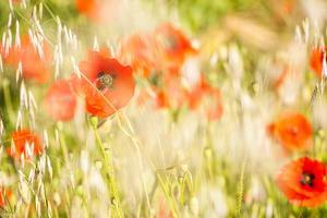 Poppy Field in Northumberland National Park by Matthew
