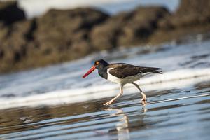 American Oystercatcher (Haematopus palliatus), Playa Arco Beach, Costa Rica by Matthew Williams-Ellis