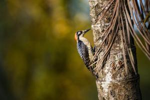 Black cheeked Woodpecker (Melanerpes Pucherani), Boca Tapada, Alajuela Province, Costa Rica by Matthew Williams-Ellis