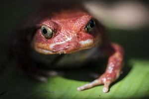 Close-Up of a Madagascar Tomato Frog (Dyscophus Antongilii), Endemic to Madagascar, Africa by Matthew Williams-Ellis
