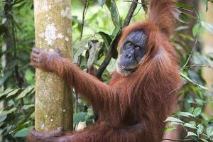 Female Orangutan (Pongo Abelii) in the Jungle Near Bukit Lawang, Gunung Leuser National Park by Matthew Williams-Ellis