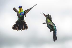 Fiery-throated Hummingbird (Panterpe insignis), San Gerardo de Dota, San Jose Province, Costa Rica by Matthew Williams-Ellis