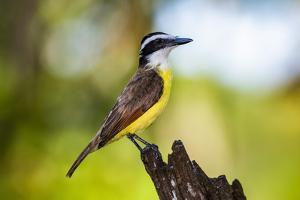 Great Kiskadee (Pitangus Sulphuratus), Boca Tapada, Alajuela Province, Costa Rica, Central America by Matthew Williams-Ellis
