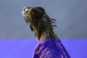 Green Iguana (Iguana Iguana), Boca Tapada, Alajuela Province, Costa Rica, Central America by Matthew Williams-Ellis