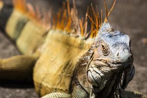 Green iguana (Iguana iguana) near La Fortuna, Arenal, Alajuela Province, Costa Rica by Matthew Williams-Ellis