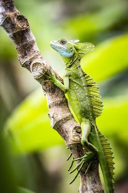 Green Plumed Basilisk Lizard (Basiliscus plumifrons), Boca Tapada, Alajuela Province, Costa Rica by Matthew Williams-Ellis