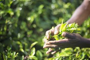 Hands of a Tea Picker Picking Tea in the Sri Lanka Central Highlands, Tea Country, Sri Lanka, Asia by Matthew Williams-Ellis
