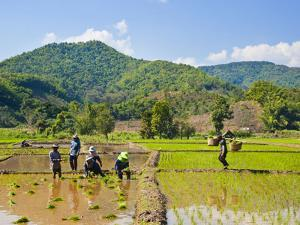 Lahu Tribe People Planting Rice in Rice Paddy Fields, Chiang Rai, Thailand, Southeast Asia, Asia by Matthew Williams-Ellis