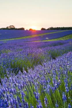 Lavender Field at Snowshill Lavender, the Cotswolds, Gloucestershire, England by Matthew Williams-Ellis