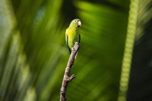 Orange Chinned Parakeet (Brotogeris Jugularis), Boca Tapada, Alajuela Province, Costa Rica by Matthew Williams-Ellis